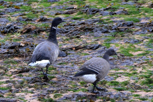Dark-bellied Brent Geese - lots of these over-wintering geese on the estuary at this time of year